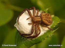 Image result for crab spider