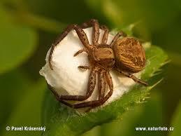Image result for crab spider