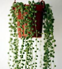 string of beads best office plants no sunlight