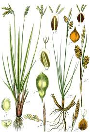 Carex liparocarpos - Wikispecies