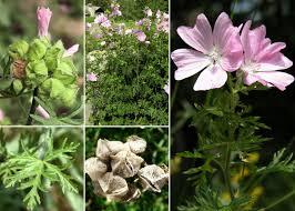 Malva moschata L. - Sistema informativo sulla flora vascolare dei ...
