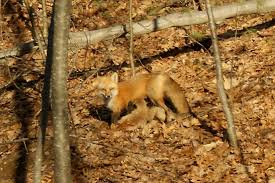 backyard wild life photo essay fox family tumblehome learning on one of the first warm mornings of spring mother fox nurses her kits in the sun