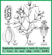 Euphorbiaceae in Flora of Pakistan @ efloras.org