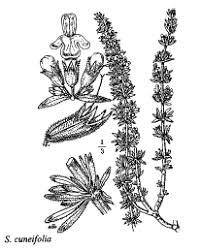 florae.it :: Cla. Dicotiledoni
