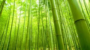 Bamboo Patience
