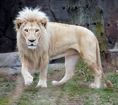 white lion on loan from siegfried roy dies at toledo zoo legend