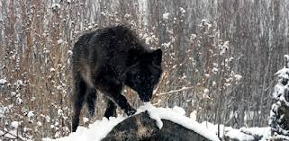 <b>Black Wolf</b> Wallpapers - Apps on Google Play