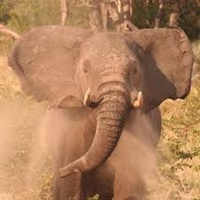 African <b>Elephant</b> Facts - <b>Elephants</b> For Africa