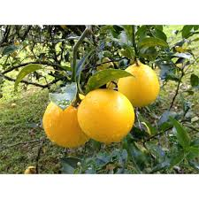 lemon tree x: mm citrus x meyeri myer lemon tree pick n eat range bunnings warehouse
