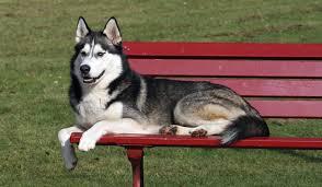 <b>Хаски</b> собака: фото, характер, описание породы