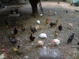Resultado de imagem para galinhas no quintal