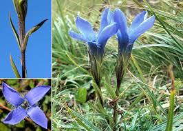 Gentianopsis ciliata (L.) Ma subsp. ciliata - Sistema informativo sulla ...