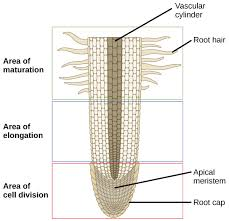 collection plant root cell diagram pictures   diagramstypes of root systems and zones of growth
