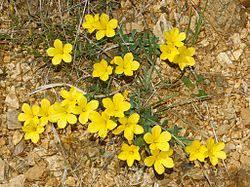 Linum campanulatum – Wikipedia