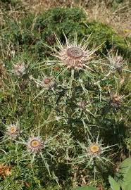 Carlina macrocephala, flora di Sardegna