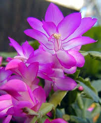 The secret to getting a <b>Christmas</b> cactus to bloom: temperature and ...