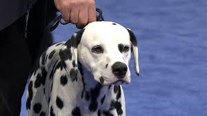 <b>Dalmatian</b>, 2019 National <b>Dog</b> Show, Non-Sporting Group   NBC ...