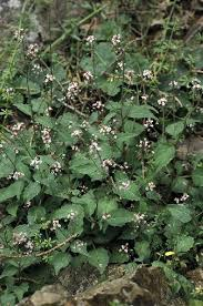Circaea in Flora of China @ efloras.org
