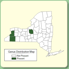 Scabiosa - Genus Page - NYFA: New York Flora Atlas - NYFA: New ...