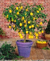 lemon tree x: