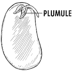 plumule