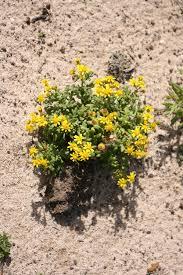 Senecio leucanthemifolius – Wikipedia