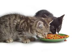 Special diets can help diabetic cats