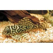 "Гипанциструс ""Желтый тигр"", L333 (Hypancistrus sp. ""Yellow Tiger ..."