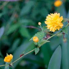 Kerria japonica 'Pleniflora' - FineGardening