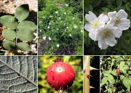 Rosa tomentosa Sm. - Sistema informativo sulla flora vascolare dei ...