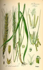 Secale - Wikipedia