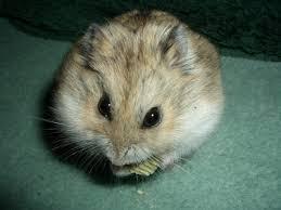 Resultado de imagen de hamster ruso gris