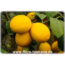 lemon tree x:  citrus x meyeri meyeras lemontree