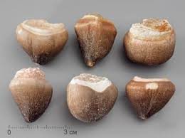 Купить Зуб мозазавра <b>окаменелый</b> (Globidens aegyptiacus), <b>2-3 см</b>