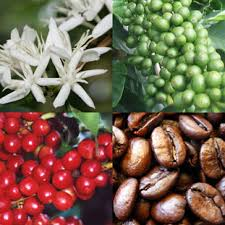 Image result for coffee plants