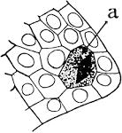 Images & Illustrations of archesporium