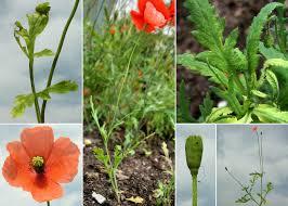 Papaver dubium L. - Sistema informativo sulla flora del parco di Villa ...