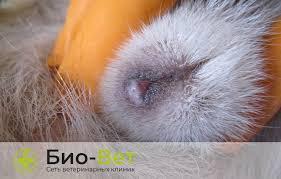Причины выделений у собак: из петли, гнойные и <b>коричневые</b> ...