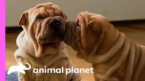 These Wrinkly <b>Shar</b>-<b>Pei</b> Pups Are Learning To Be The Best Guard ...