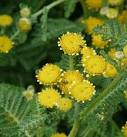 Images & Illustrations of camphor dune tansy