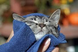 Resultado de imagen para bañando a gatos