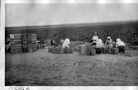 fall harvest in ese american concentration camps densho original wra caption a crew of evacuee women sorts tomatoes at the edge of a