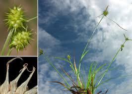 Carex lepidocarpa Tausch subsp. lepidocarpa - Portale sulla flora ...