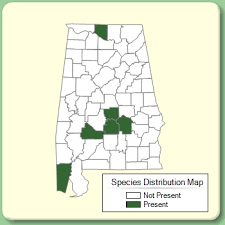 Cerastium semidecandrum - Species Page - APA: Alabama Plant Atlas