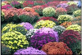 Image result for mum flower pictures
