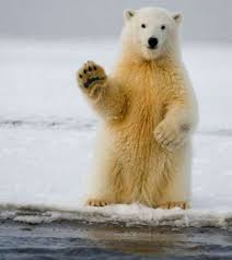 Image result for funny polar bear