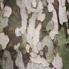 Image result for london plane tree