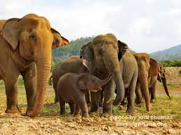 baby elephant photo   save elephant foundationbaby elephant navann and family herd