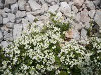Galium anisophyllum