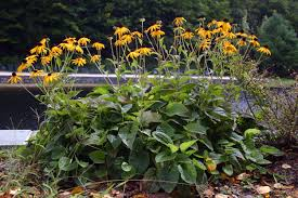 Image result for black eyed susan